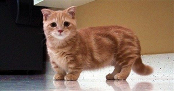 very cute, fully frown Munchkin cat