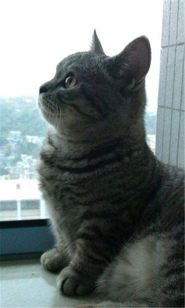 Cute munchkin cat from the side