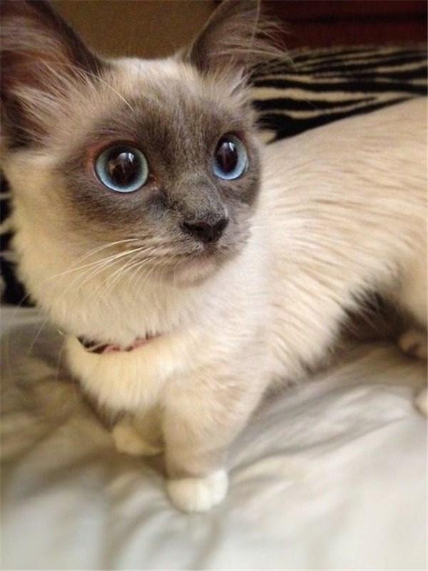 Munchkin cat with amazing fur pattern.