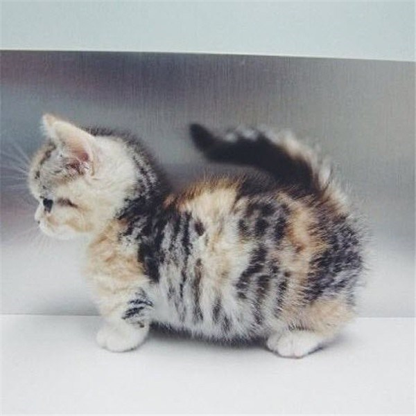 Very round munchkin cat who's belly is almost going to drag on the ground.