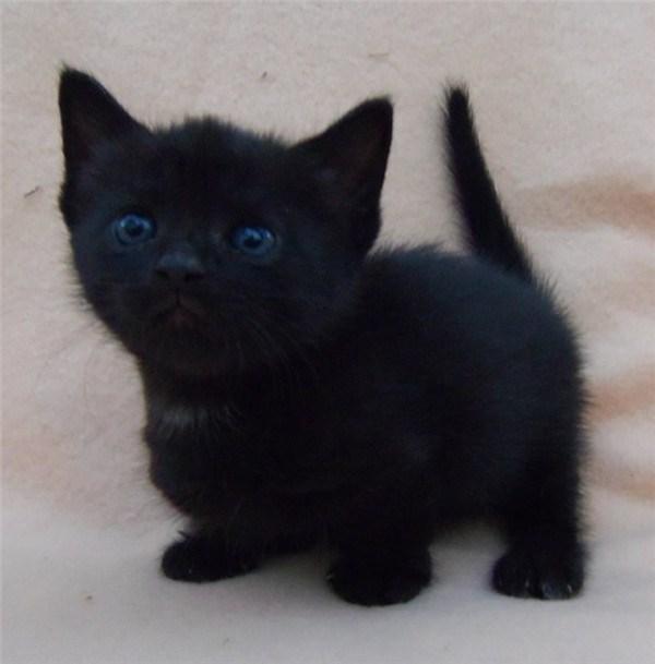 Munchkin black cat kitten