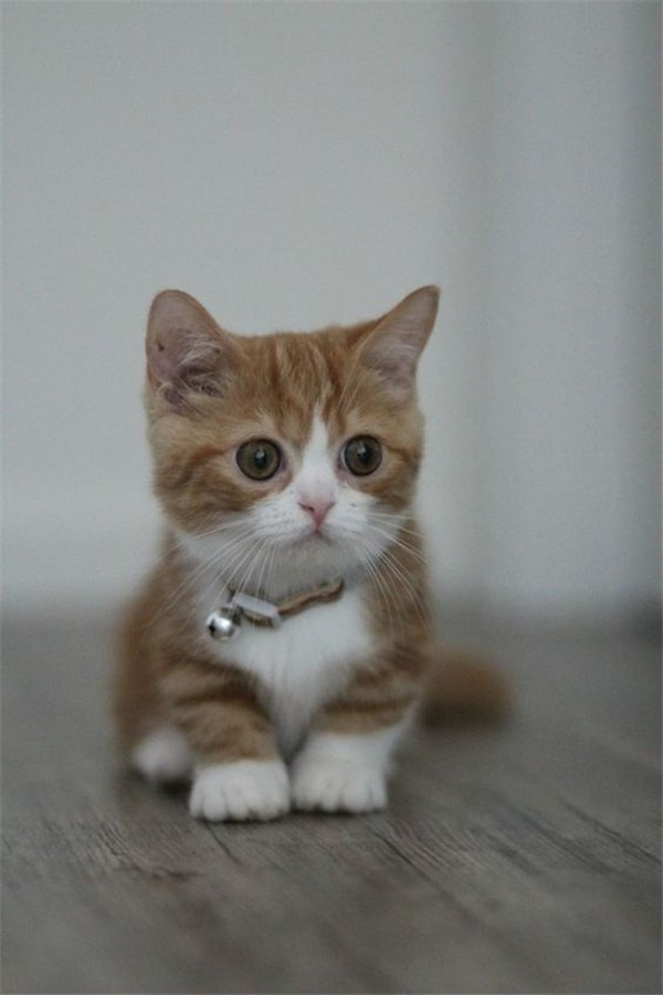 cute munchkin kitten cat with little bell on his collar.