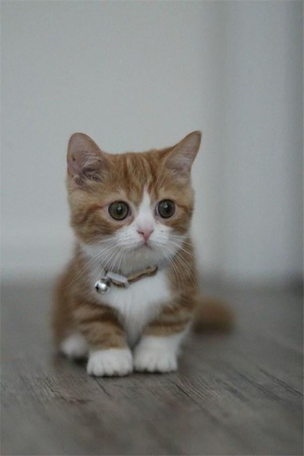 cute munchkin kitten cat with little bell on his collar.