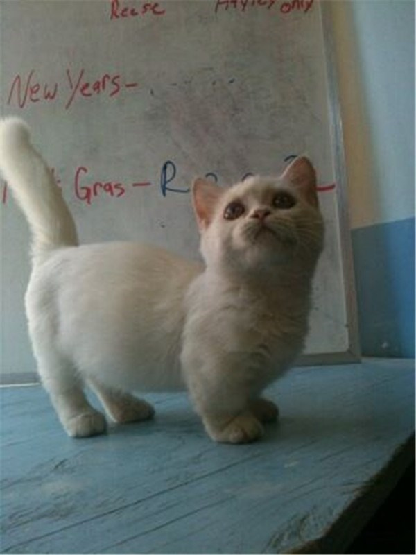 white and round Munchkin cat.