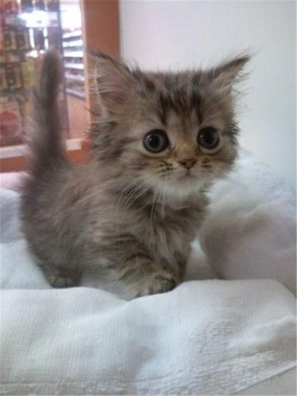 scrappy but cute munchkin cat