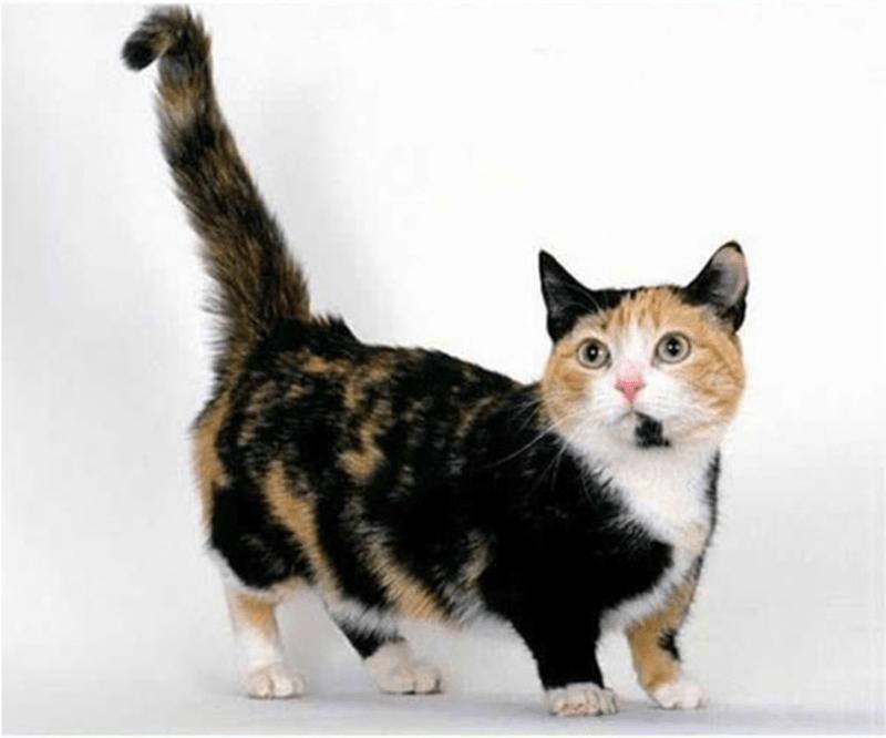 Calico cat munchkin