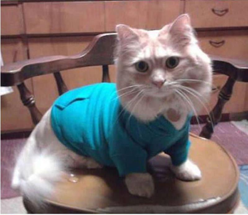 Cute munchkin cat wearing a shirt on the high chair.