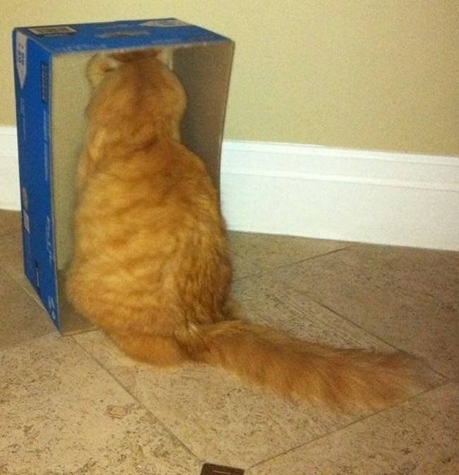 cat staring at inside of box