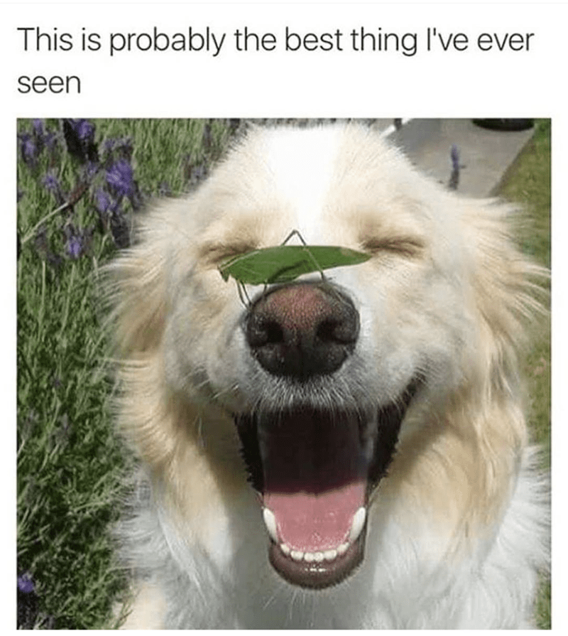 Funny meme of the best thing you'll ever see, an adorable grasshopper on the nose of a Golden Retriever dog.