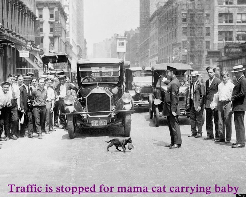 a cat meme of traffic literally being held up because they are letting a cat with her baby cross the street