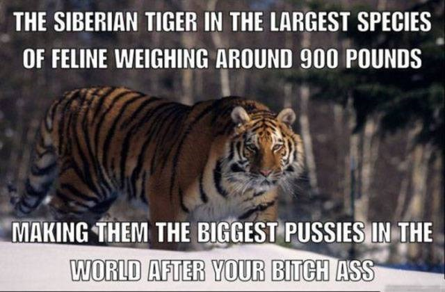 inappropriate meme about your bitch ass being almost as fat as a feline tiger