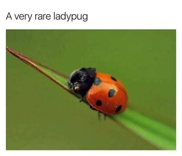 Cute photoshop meme of a lady pug, a half ladybug pug puppy.