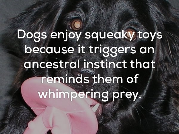 fun fact about how dogs enjoy squeaky toys because it triggers an instinct reminding them of whimpering prey.
