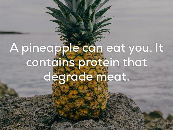 fun fact about how pineapple can digest meat.