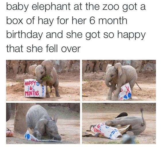 Text - baby elephant at the zoo got a box of hay for her 6 month birthday and she got so happy that she fell over HAPPY MONTHS