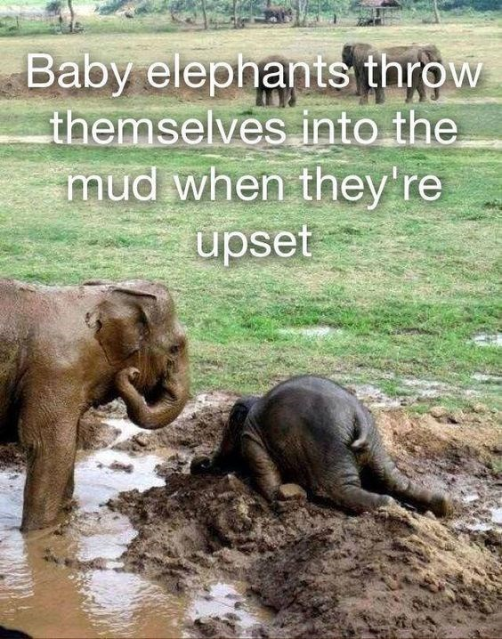 Elephant - Baby elephants throw themselves into the mud when they're upset