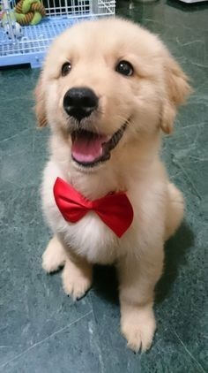 Cute golden retriever wearing a bow tie.