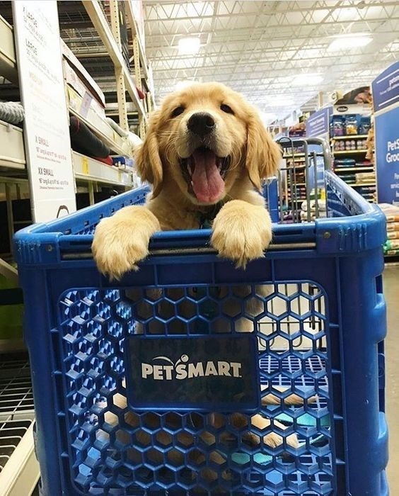 Golden retriever puppy in a PetSmart