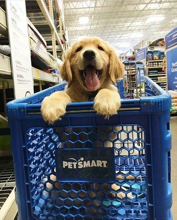 Golden retriever puppy in a PetSmart