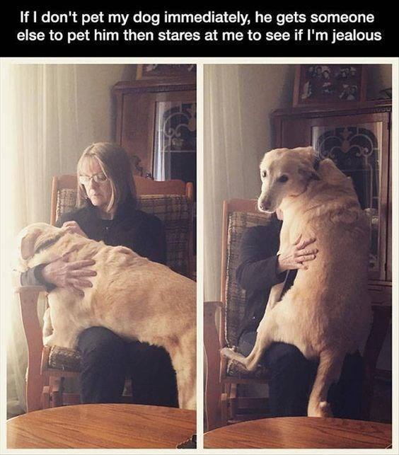 Cute meme image macro of a golden retriever who goes to someone else when owner won't pet him and then looks back to see if he is jealous