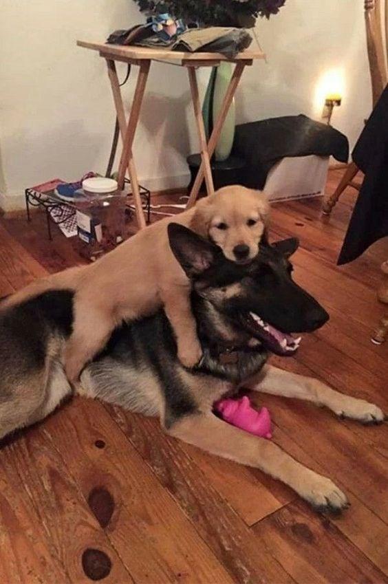 Golden retriever puppy on a much larger German Shepard
