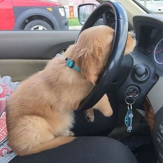 very tired golden retriever puppy passed out on the steering wheel.