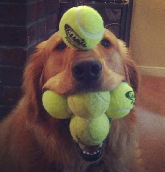 Golden retriever dog with mouth full of tennis balls, and one balanced right on his nose.