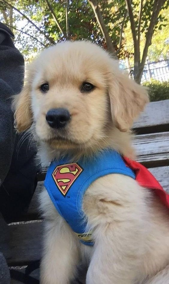 Concerned golden retriever wearing a superman outfit.