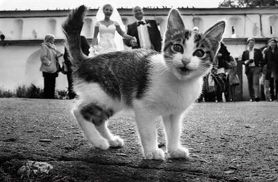 Kitten surprised black and white wedding photo.