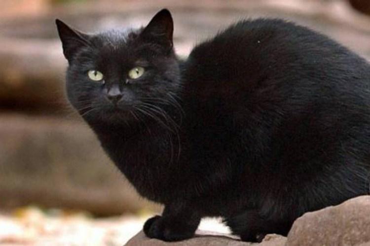 doe eyed black cat