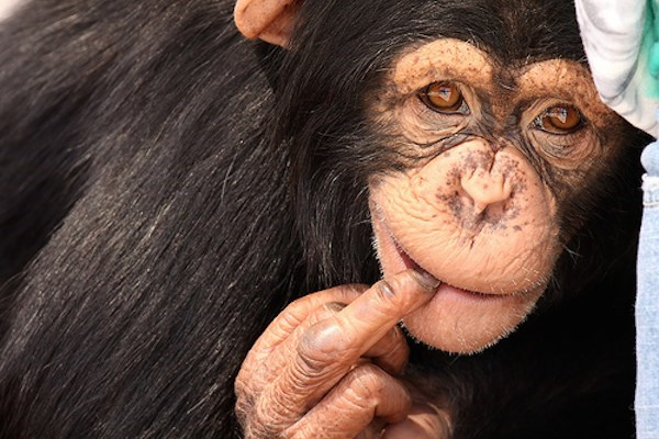 Chimp giving the middle finger