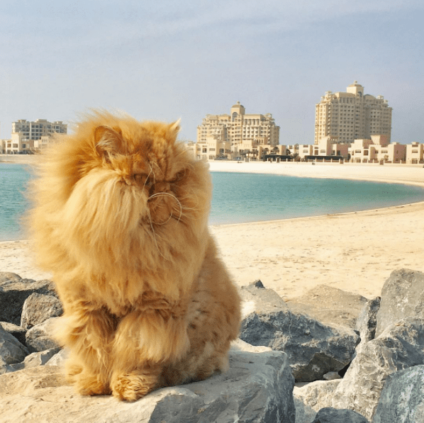 Furry Persian orange cat at the beach with resorts in the distance.