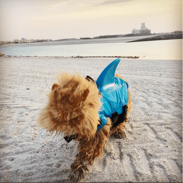 Persian cat walking on a sandy beach wearing a shark outfit.