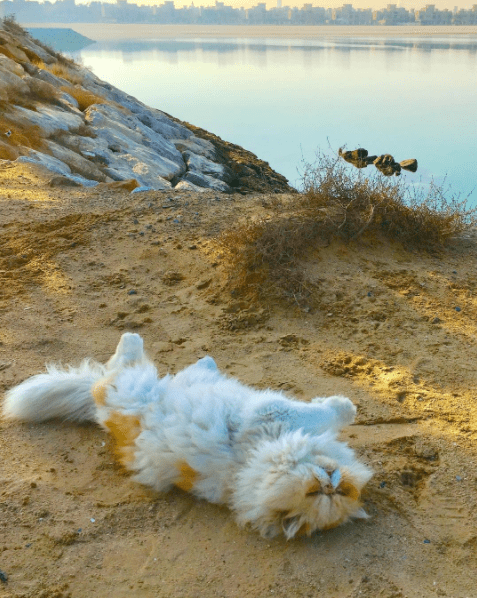 Majestic Persian cat frolicking on a sandy cliff by the beach.