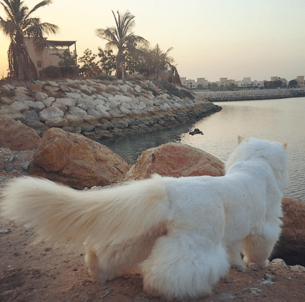 White Persian cat looking into the quay by the water.