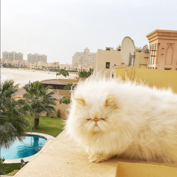 Chaotic fur Persian cat on the balcony overlooking the sea