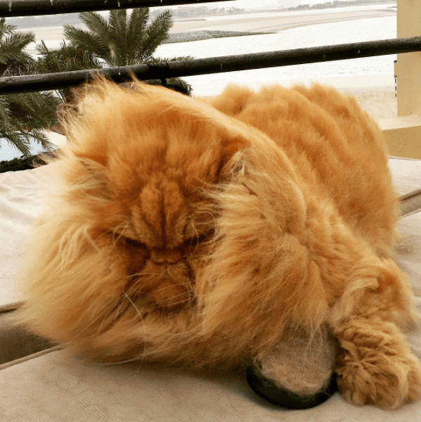 Wind-swept Persian cat by the sea.