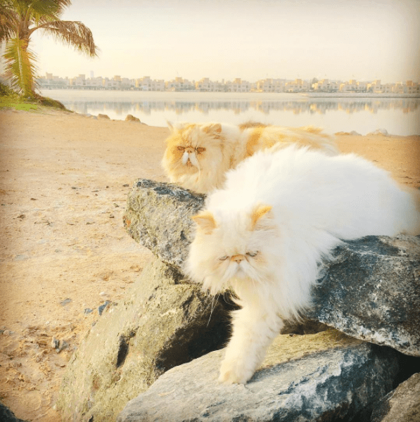 Tired Persian cats by the sea side.