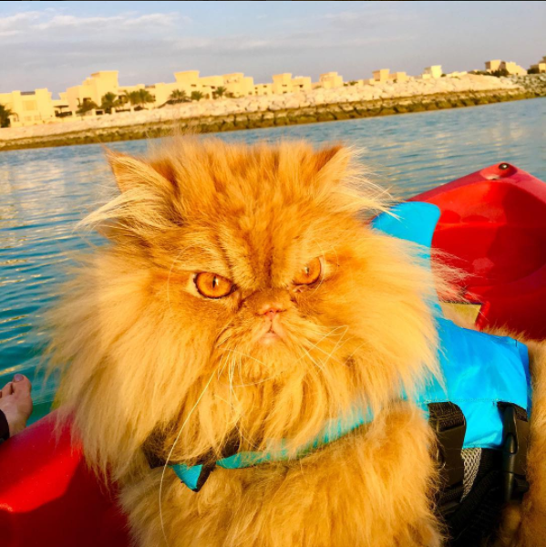 Persian cat wearing a shark fin that is woke AF