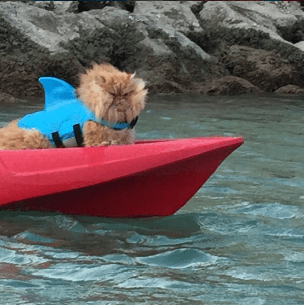 Fearlessly kayaking Persian cat with shark fin outfit.