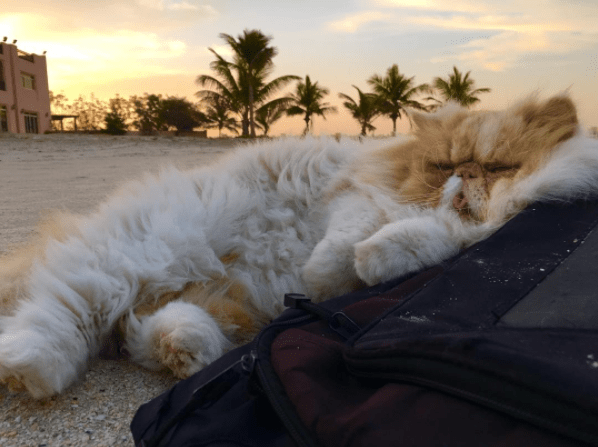 sleeping Persian cat on the sand of the beach