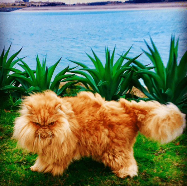 Angry Persian cat on a grassy knoll by a calm lake on a cloudy day.