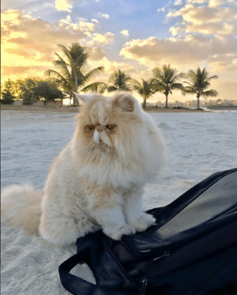 Persian cat in a beautiful palm tree sunset at the beach.