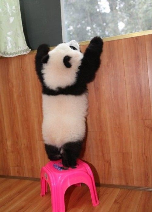 Panda trying to climb out the window using a pink table.