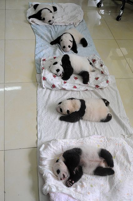 Cute baby pandas passed out on the floor.