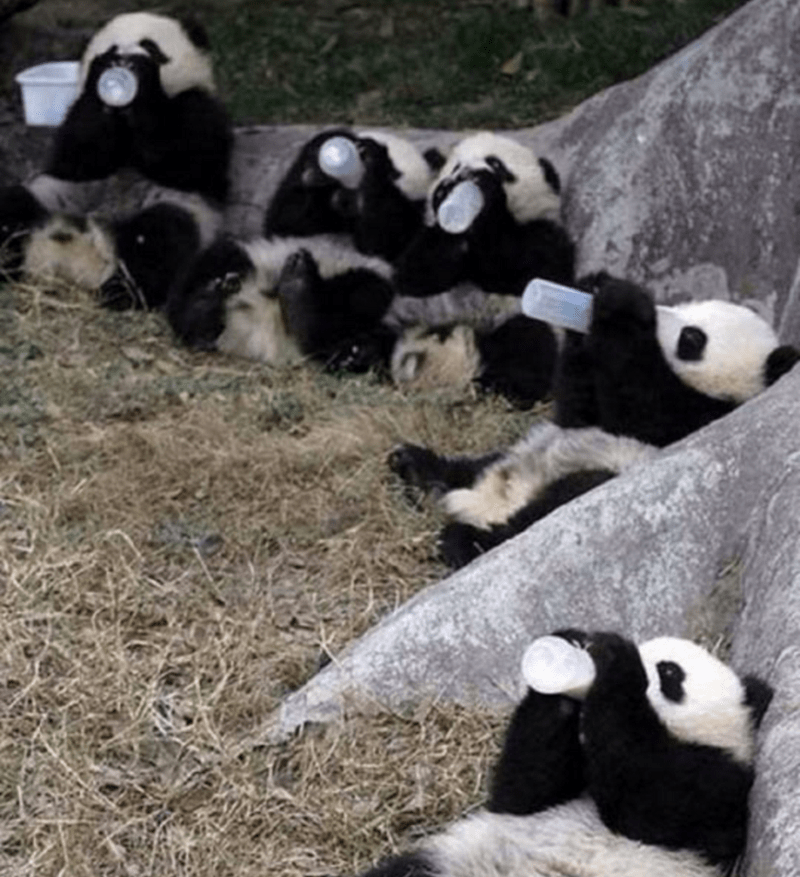 Pandas chilling out by a rock drinking water bottles