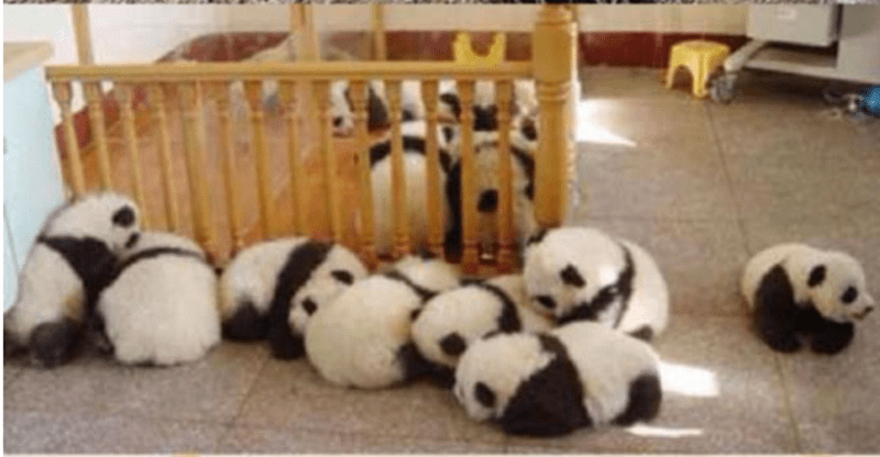 Baby pandas on the floor