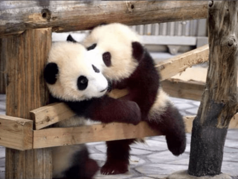 Pandas trying to escape.