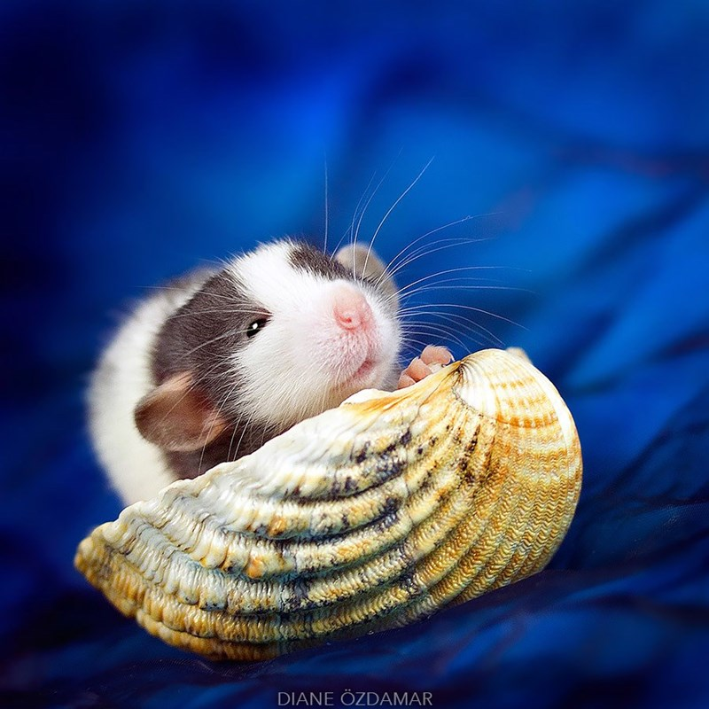 Rat playing with a sea shell