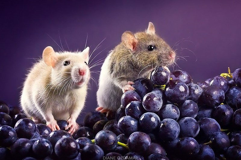 Rats eating grapes